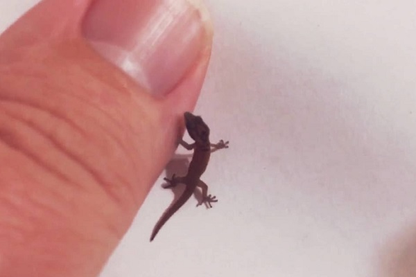 Jaragua Dwarf Gecko - Scientific Name: Sphaerodactylus Ariasae