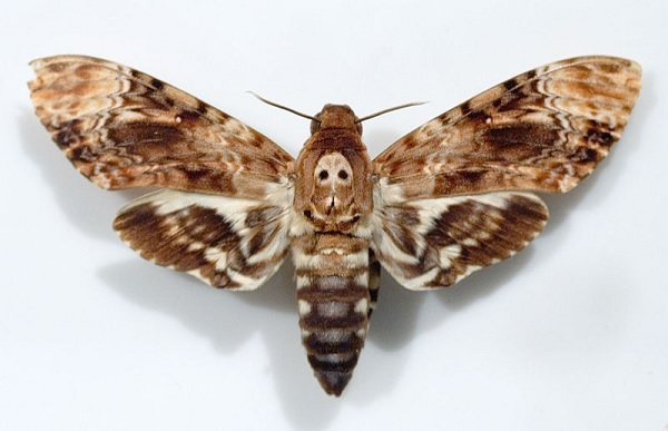 Death's-Head Hawkmoth - Acherontia