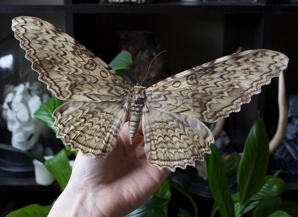 White Witch Moth - Thysania Agrippina