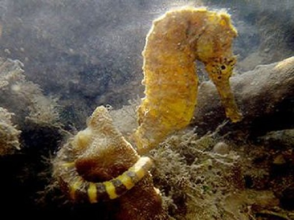 Tiger Tail Seahorse (Hippocampus comes)