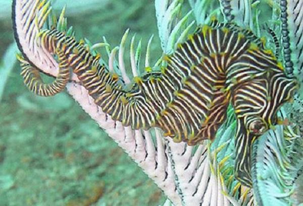 Zebra Seahorse (Hippocampus zebra)