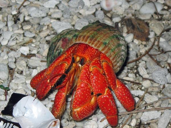 Hermit Crab (Paguroidea) - 10 Legs