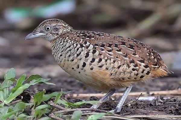 Common quail