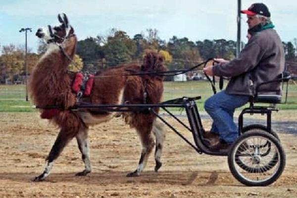 llama Pulling a Cart