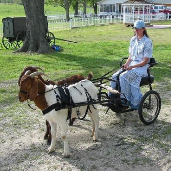 Goats Pulling a Cart