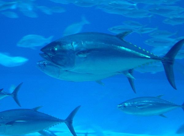 Bluefin Tuna (Thunnus thynnus)