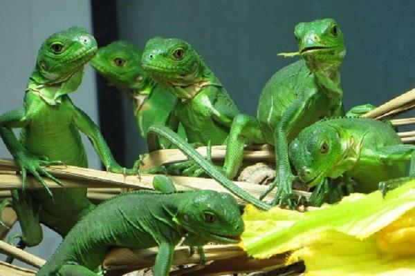 Lesser Antillean Iguana (Iguana delicatissima)