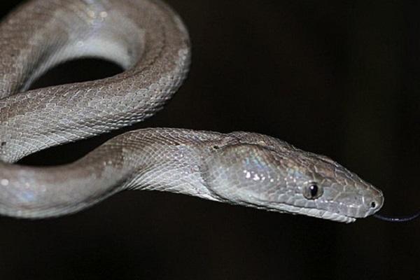The Silver Boa (Chilabothrus Argentum)