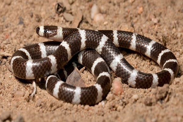 Hoop Snake (Vermicella Annulata)