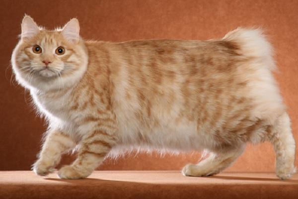 The Kurilian Bobtail Cat