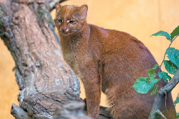 The Jaguarundi Cat