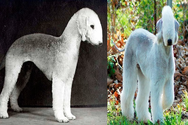 The Bedlington Terrier