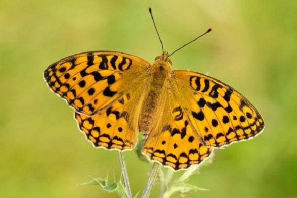 The High Brown Fritillary Butterfly