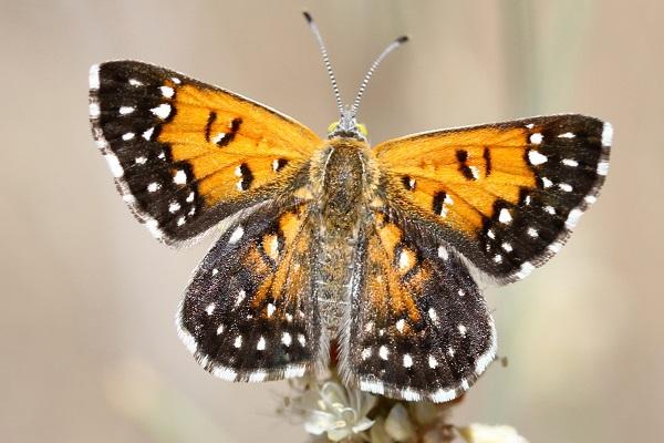 The Lange's Metalmark Butterfly