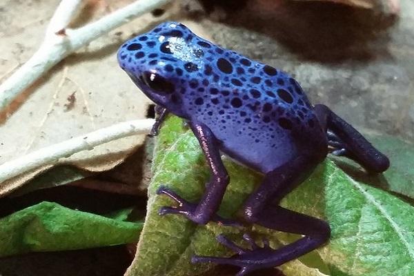 Blueberry Poison Arrow Frog (Dendrobates Pumilio)