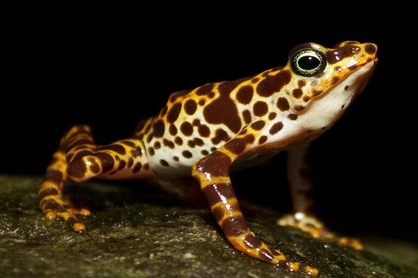 The Variable Harlequin Frog (Atelopus Varius)