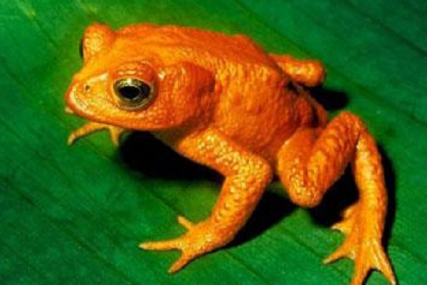 Scarlet Frog (Atelopus Sorianoi)