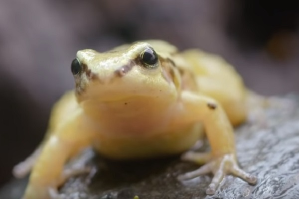Quito Rocket Frog (Colostethus Jacobuspetersi)