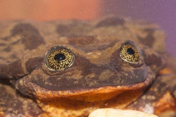 Sehuencas Water Frog (Telmatobius Yuracare)