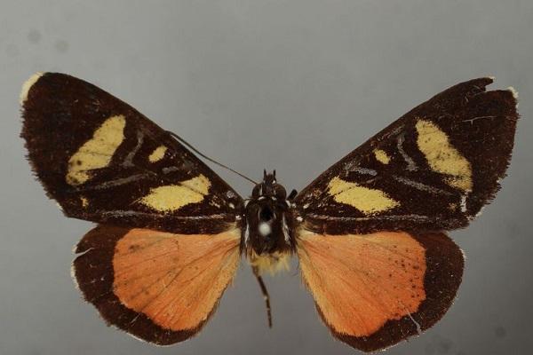 A Butterfly (Hesperia Busiris)
