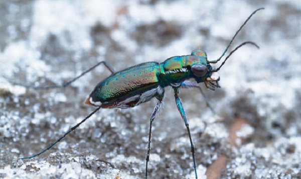 The Miami Tiger Beetle (Cicindelidia floridana)