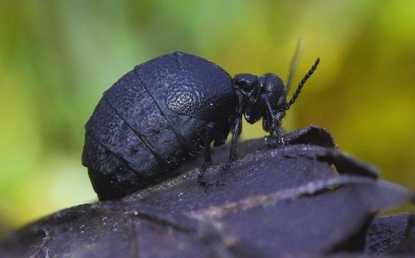 The Rugged Oil Beetle (Meloe rugosus)