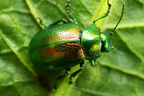 The Tansy Beetle (Chrysolina graminis)