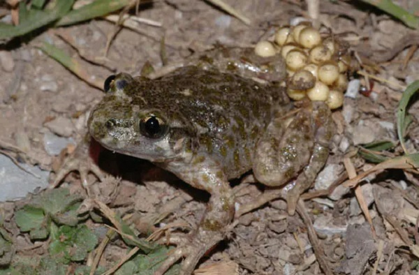 The Betic Midwife Toad (Alytes Dickhilleni)