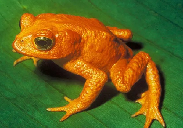 The Golden Toad (Incilius periglenes)
