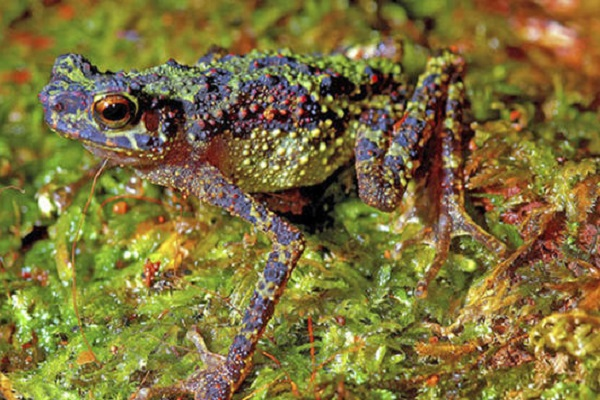 The Bornean Rainbow Toad (Ansonia latidisca)