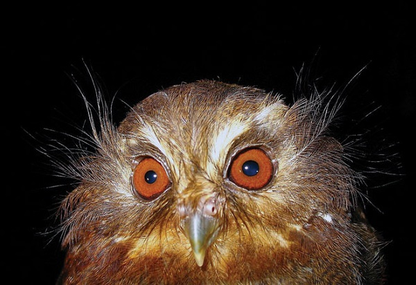 The Long-whiskered Owlet (Xenoglaux loweryi)