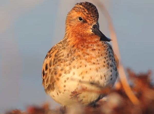 The Spoon-billed Sandpiper (Calidris pygmaea)