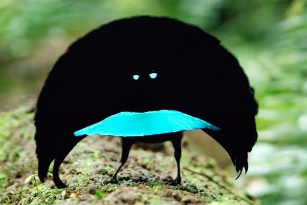 The Superb Bird-of-Paradise (Lophorina superba)
