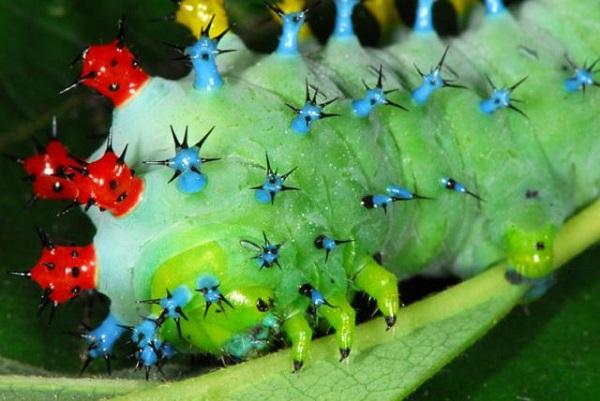 Christmas Lights Caterpillar (Hyalophora cecropia)