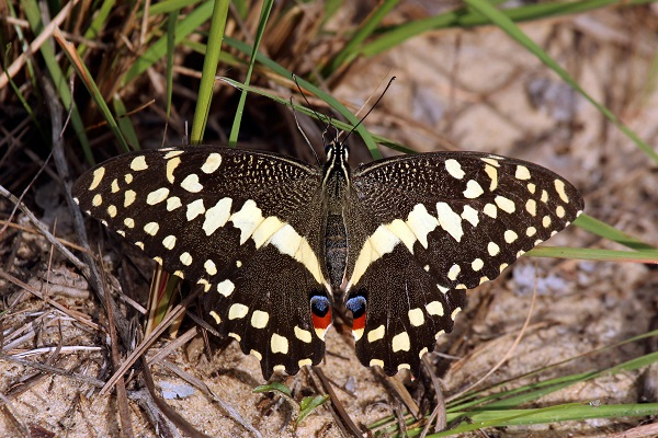 Christmas Butterfly (Papilio demodocus)