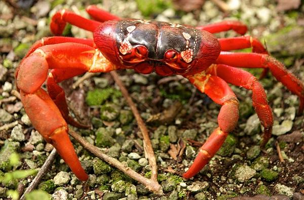 Christmas Island Red Crab (Gecarcoidea natalis)