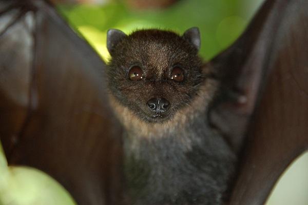 Mariana Fruit Bat (Pteropus Mariannus)