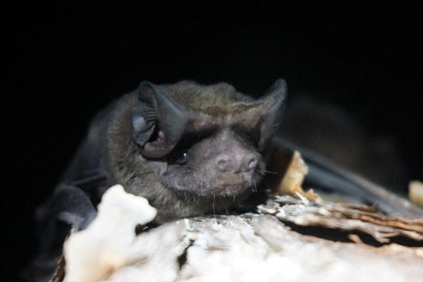 The Florida Bonneted Bat (Eumops Floridanus)