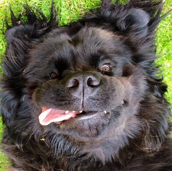 Newfoundland - Human-Friendly Dog Breed