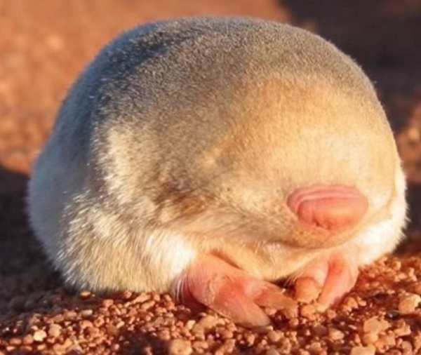 The Golden Mole (Chrysochloris asiatica)
