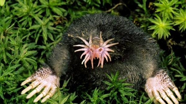 The Star-nosed Mole (Condylura cristata)