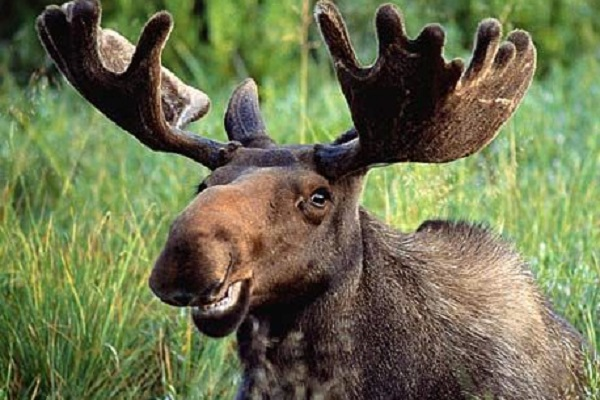 Crimes Committed by Animals - Moose Helicopter Attack