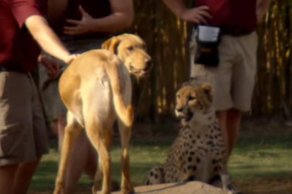 Cheetah – Dog Friendship