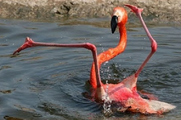 Would you consider Flamingoes to be a romantic bird?
