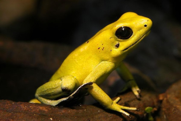 The Golden Poison Dart Frog (Scientific name: Phyllobates terribilis)