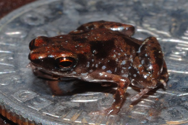 The Paedophyrne Frogs (Scientific name: Paedophryne)