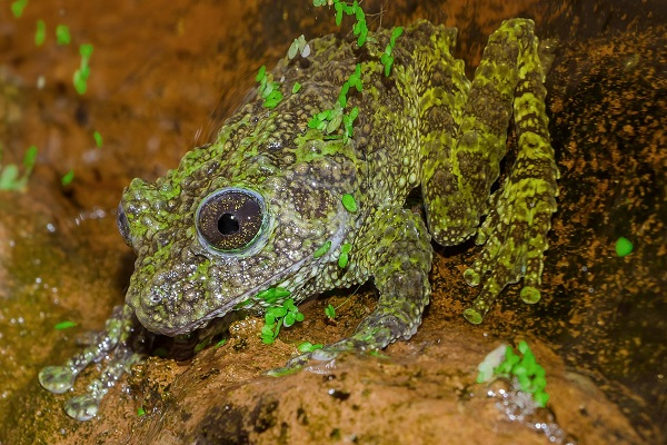 The Moss Frog (Scientific name: Theloderma corticale)