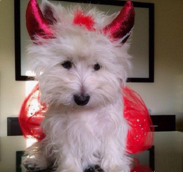 Dog Wearing Devil Costume