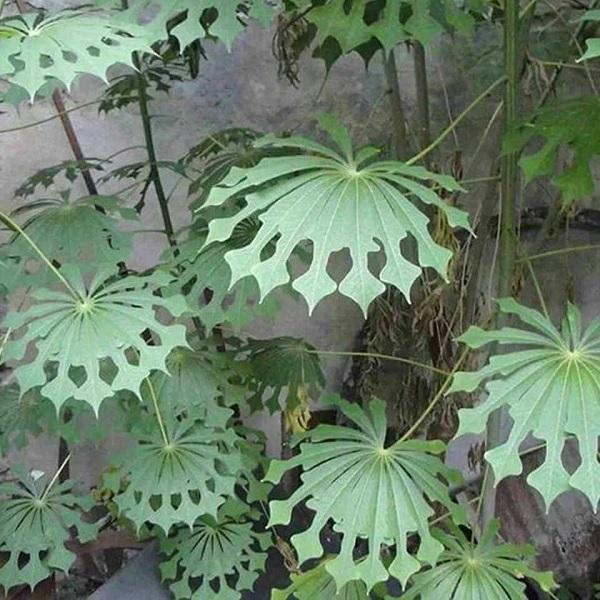 Hardy tapioca Leaves