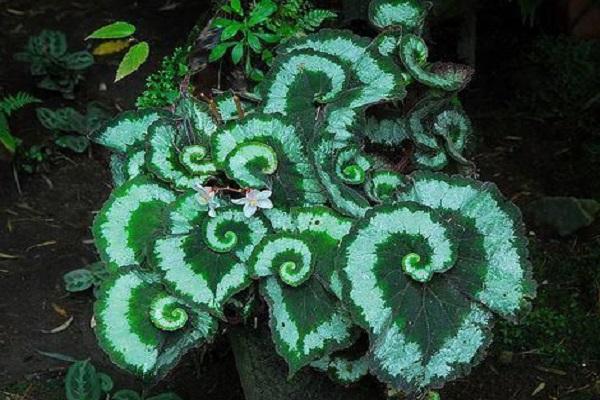 Begonia 'Escargot' Leaves